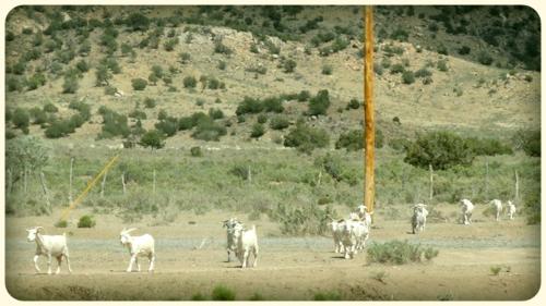 GoatFarming